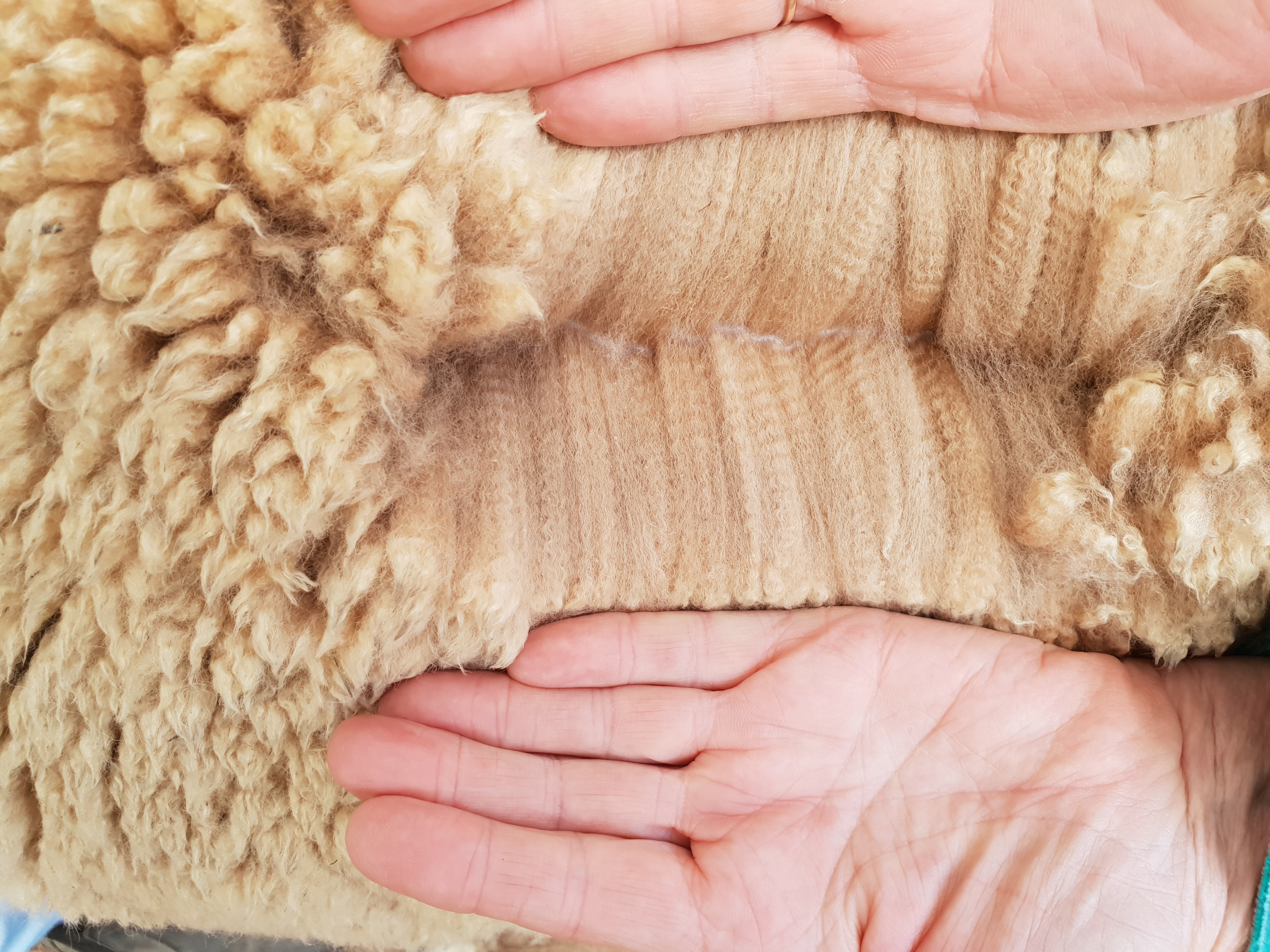 Photo of CEDAR HOUSE HARROD's fleece