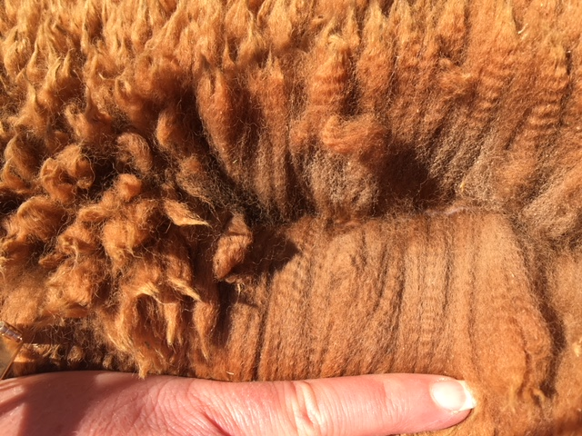 Photo of HYGHCLERE DOMINGO's fleece