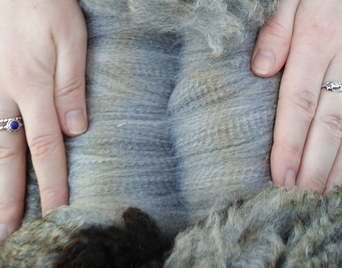 Photo of MANNA-GUM FARM TALISMAN's fleece